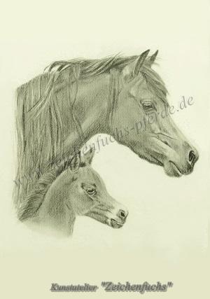 Portrait eines Welsh Ponys