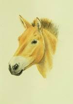 Aquarellportrait eines Przewalski-Pferdes